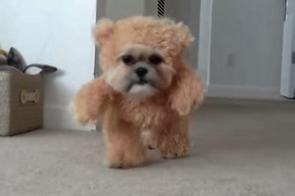teddy bear shih tzus