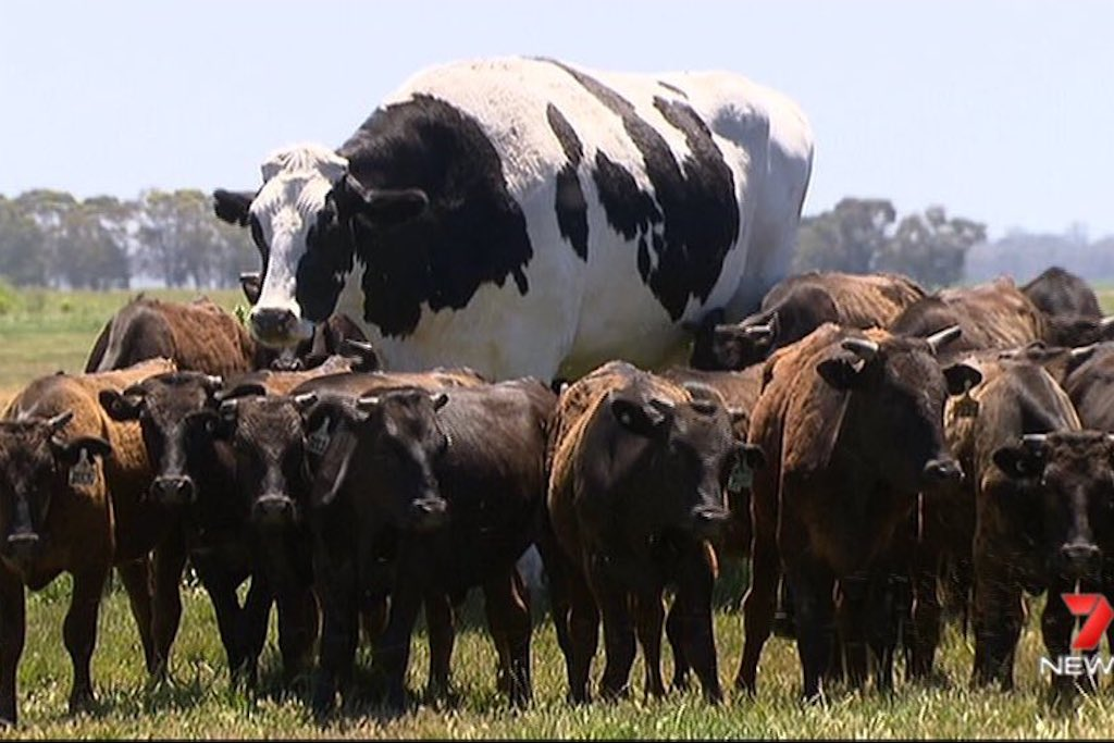 Knickers, the very big cow